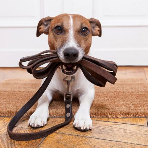 Puppy lying on floor mat and eagerly holding folded up leash in his mouth